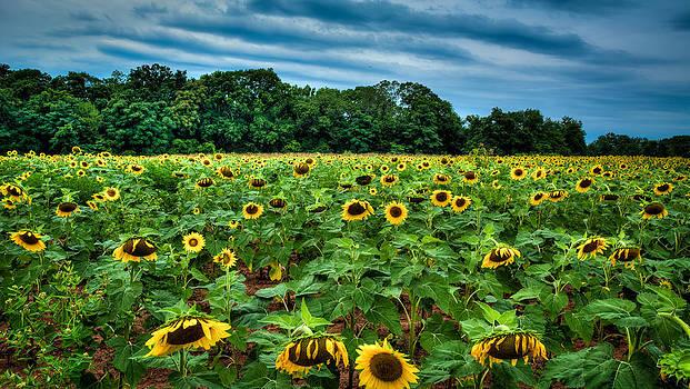Sad Sunflower Morning by Dan Girard