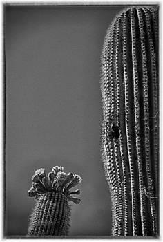 Saguaro in Bloom - V1 by Judi FitzPatrick