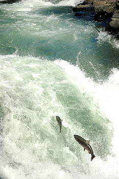 Salmon Run 4 by Mamie Gunning