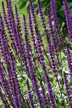 Salvia by Jim Nelson