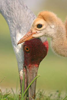 Sandhill Crane and Chick by Karen Lindquist