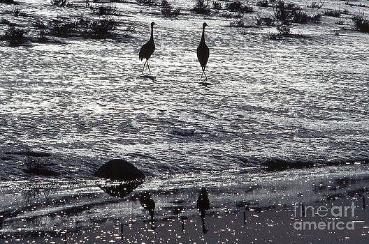 Sandhill Cranes black and white by Edward R Wisell