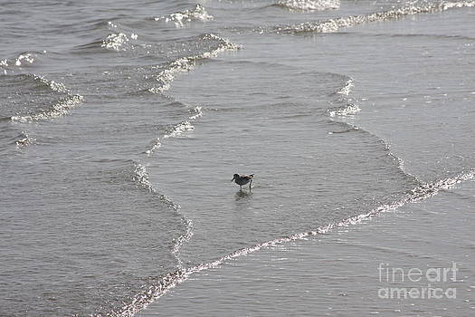 Sandpiper In Water by Jerry Bunger