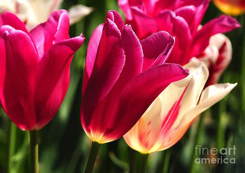 Satin Tulips by Olivia Hardwicke