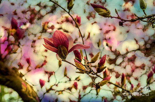 Saucer Magnolia Tree Filled Full of Colorful Spring Blooms by Photo Captures by Jeffery