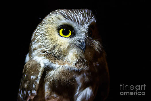 Saw-Whet Owl by Deanna Wright