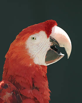 Scarlet Macaw Squawking by Bob and Jan Shriner