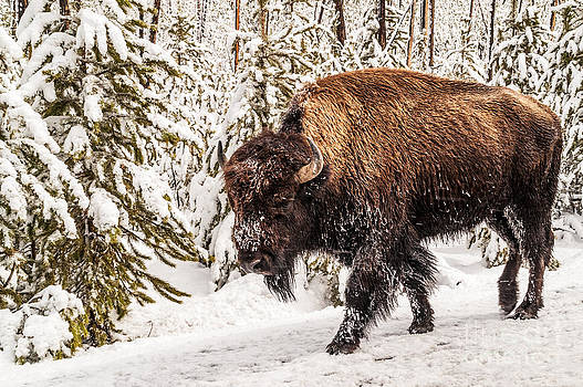 Scary Bison by Sue Smith