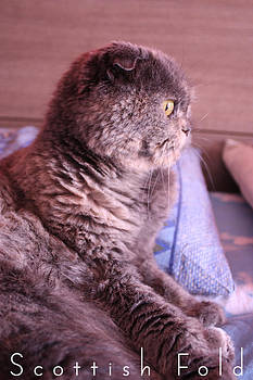 The Scottish Fold Cat by Barbara Ki