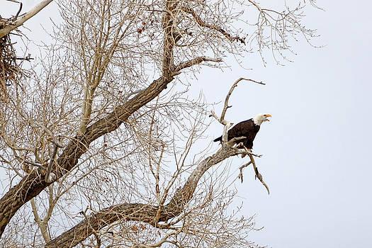 Screamin' Eagle by Eric Nielsen