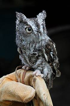 Screech Owl by Lindy Brown
