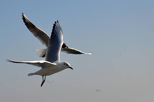 Sea Gulls Couple by Mahendra Mithapara