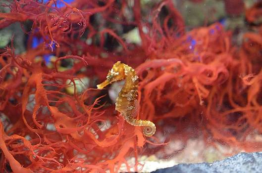 Sea Horse by Chandra Wesson