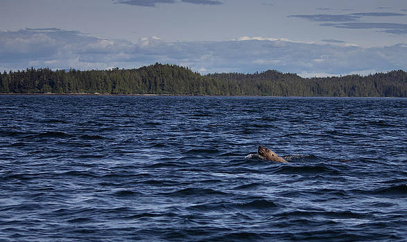 Sea Lion by Timothy Latta