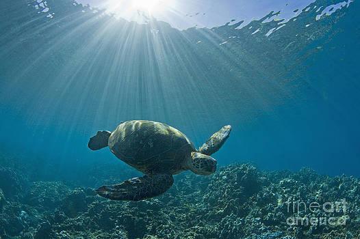 Sea Turtle by David Olsen
