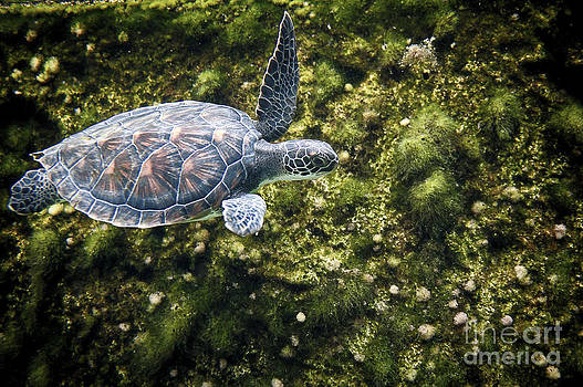 Dan Friend - Sea turtle swimming along edge
