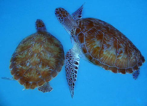 Sea Turtles by Cindy Bray
