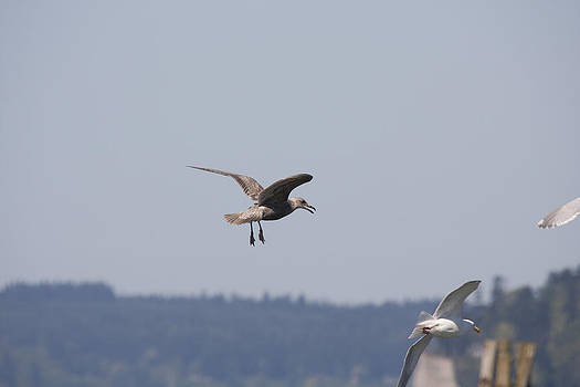 S and S Photo - Seagull - 0001