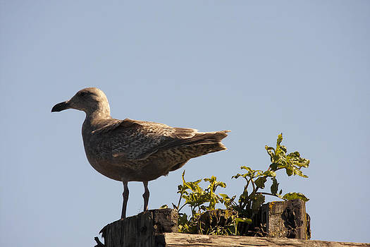 S and S Photo - Seagull - 0002