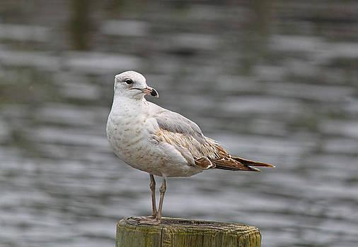 Seagull 2 by Carolyn Ricks