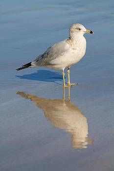 Seagull by Alicia Knust