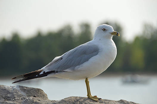 Seagull At Rest by Lena Wilhite