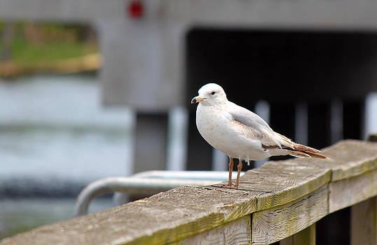 Seagull by Carolyn Ricks
