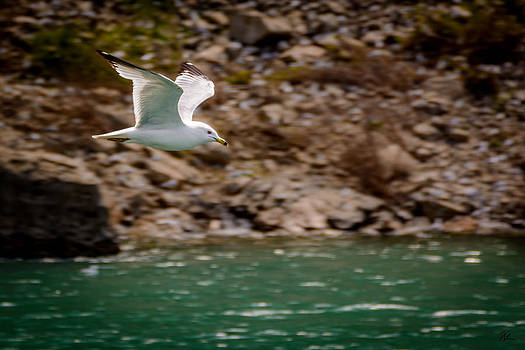 Seagull in Flight by Pat Scanlon