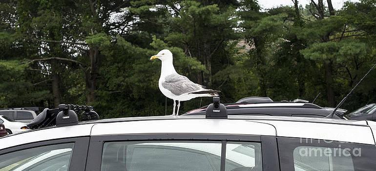 Steven Ralser - seagull on car