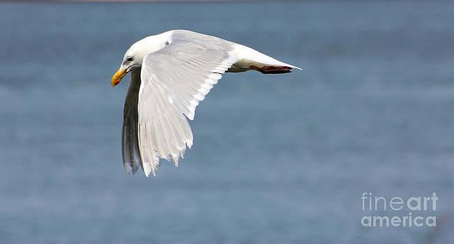 Nick Gustafson - Seagull Wings