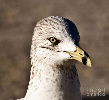 Seagull1 by David Lane