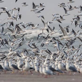Seagulls by Hitendra SINKAR