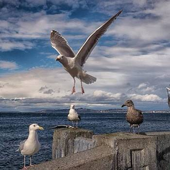 #seattle #seagulls #rx1 by Ron Greer