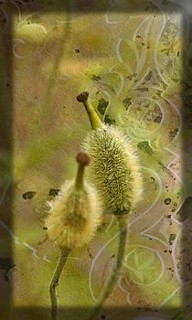 Liz  Alderdice - Seed Pods - Meconopsis paniculata