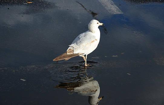 Seagull by Carmine Arcaro