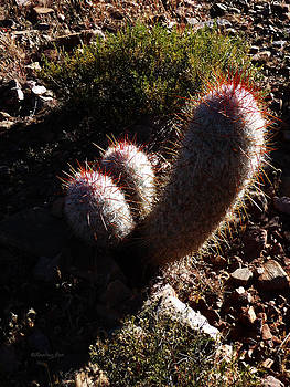Xueling Zou - Senor Cacti