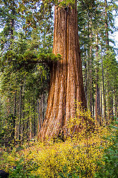 Sequoia Tree Mariposa Grove Yosemite by Lisa Anne McKee