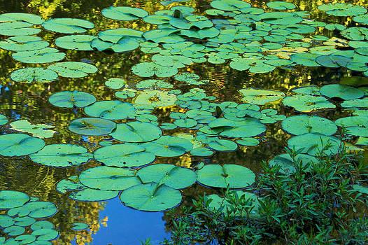 Serenity Found - green lotus leaves in blue water by Jane Eleanor Nicholas