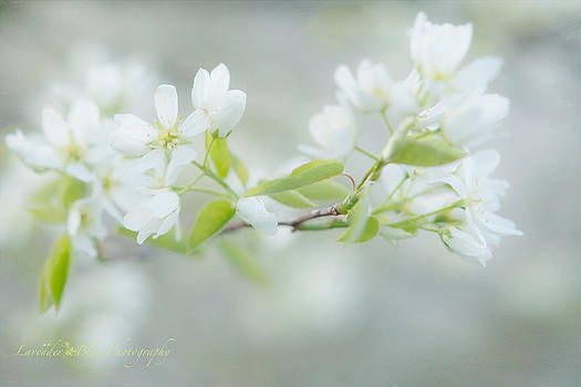 Serviceberry Blossoms by Beverly Cazzell