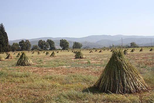 Tracey Harrington-Simpson - Sesame Crop and Harvest