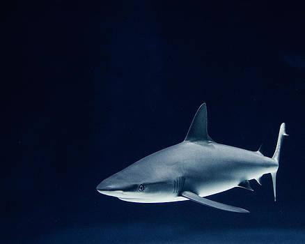 Shark of the Deep Blue by Irene Suchocki