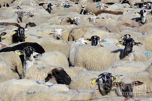 BERNARD JAUBERT - Sheeps