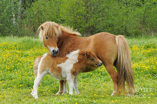 Paul van Gaalen - Shetland Pony And Young