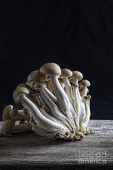 Elena Nosyreva - Shimeji mushroom