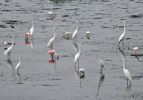 Shorebirds in Tidal Flats at Darling National Wildlife Refuge by Bruce Gourley