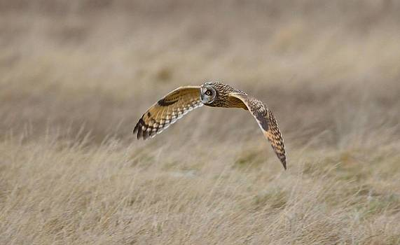 Short-Eared Owl in flight by Kathy King