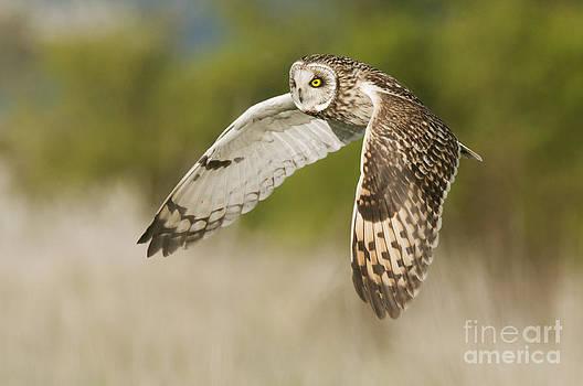 Robert Canis FLPA - Short-eared Owl