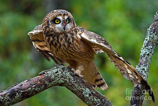 Short Eared Owl by Rodney Campbell