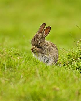Shy Rabbit by Paul Scoullar