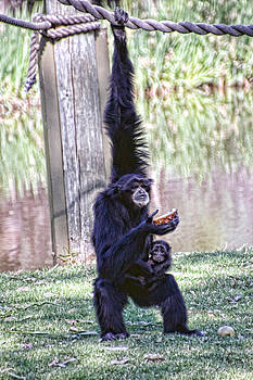 Siamang Mum and Bub by Helen Akerstrom Photography